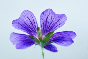 cranesbill-blossom-bloom-blue-54319-medium
